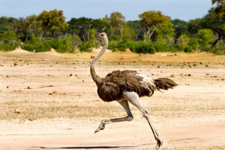 Is it True that the Ostrich Buries its Head in the Ground?