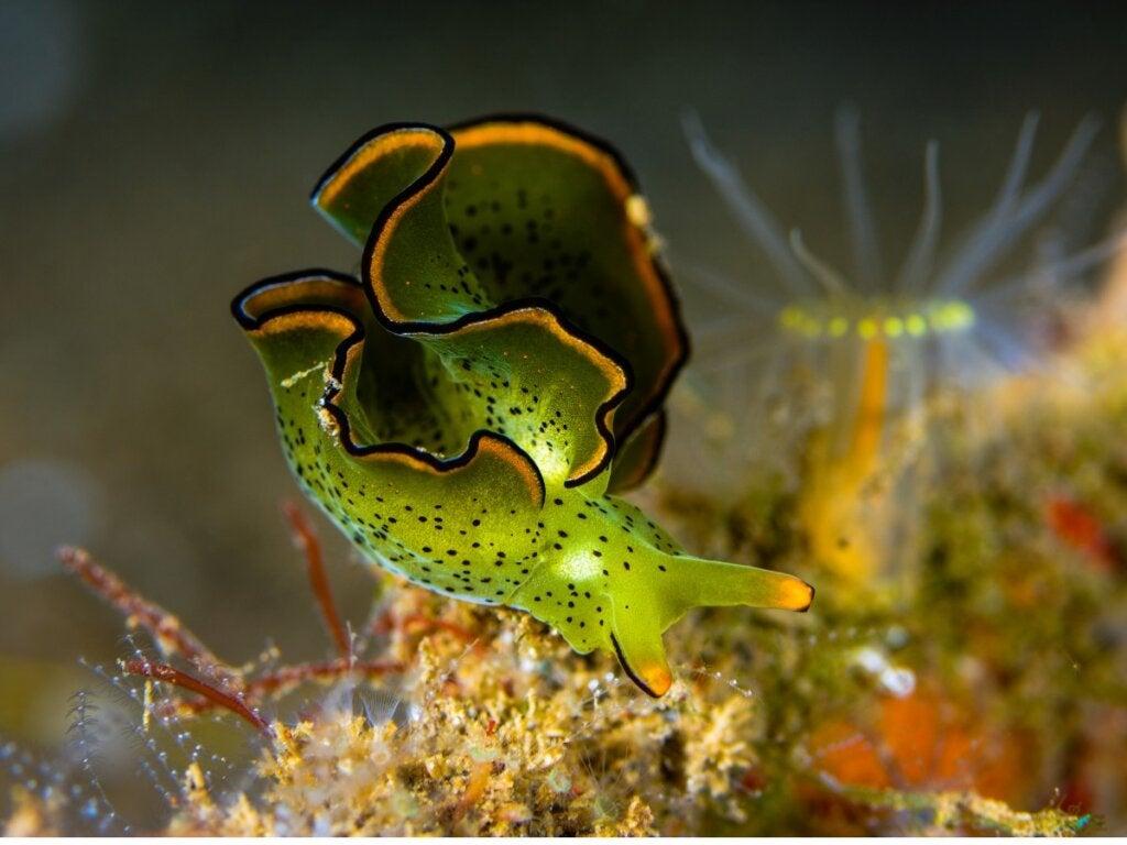 The Emerald Slug: An Animal that Photosynthesizes