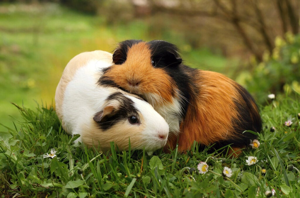 Guinea Pigs: Breeds and Care
