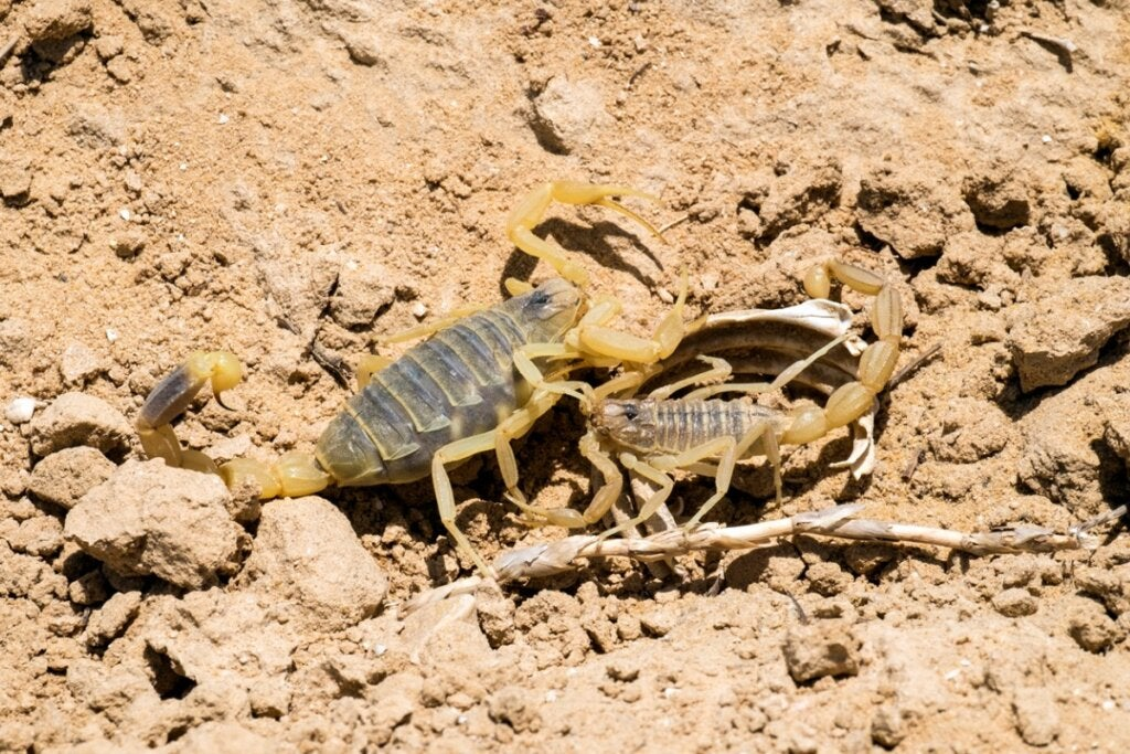 Palestinian Yellow Scorpion: One of the Most Poisonous in the World