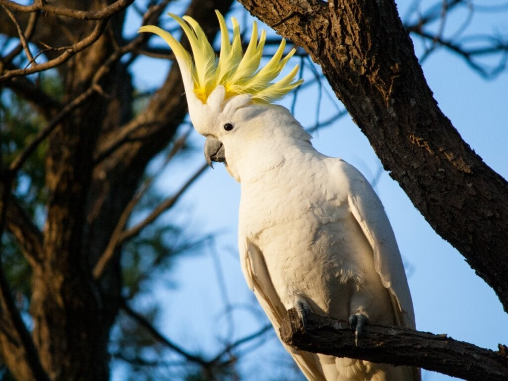 Cockatoo Behavior: All You Need to Know