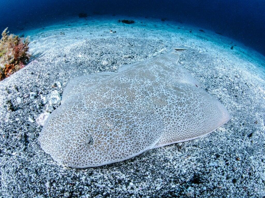Angel Shark: Habitat and Characteristics