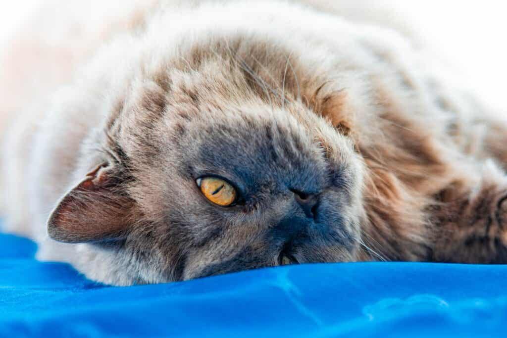 British Longhair Cat: Origin and Characteristics