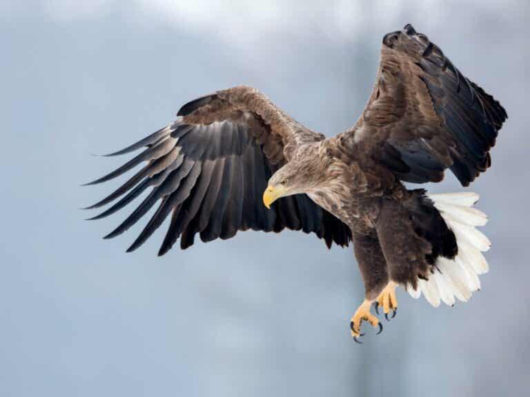 White-Tailed Eagle: Habitat and Characteristics