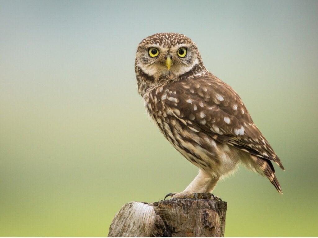 The Little Owl: Habitat and Characteristics