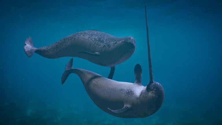 4 Threats to Narwhals