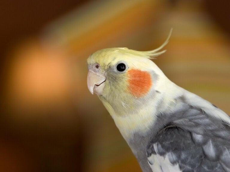 The Behavior of Cockatiels