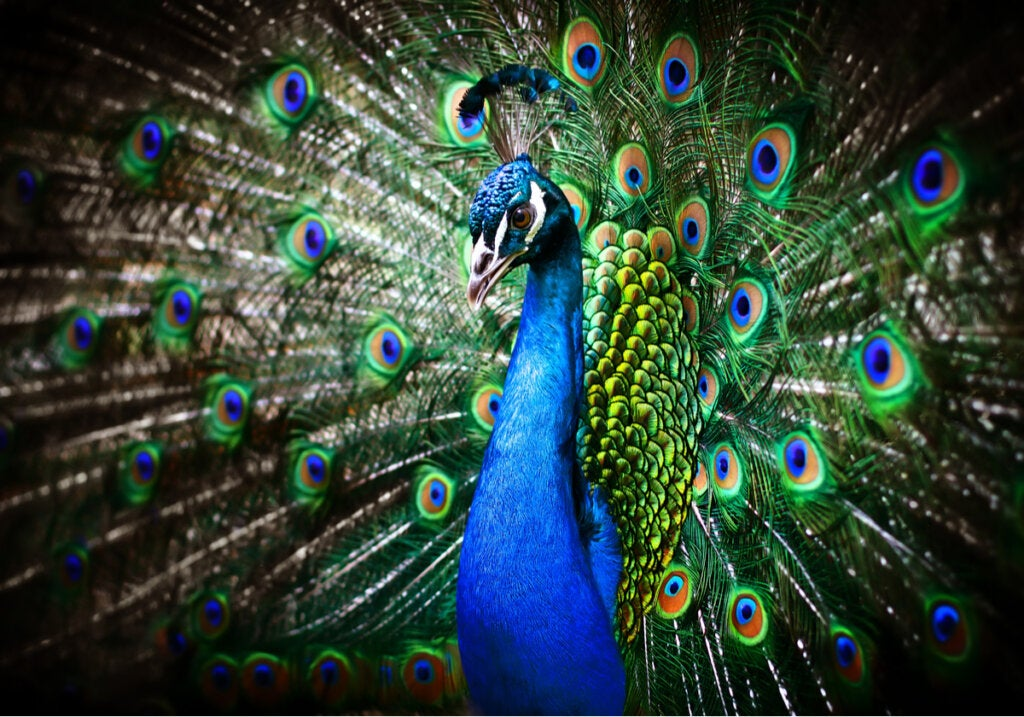 Why the Peacock Spreads its Tail