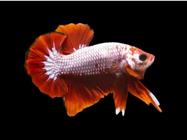Dragonscale Betta Fish: Habitat, Characteristics and Care