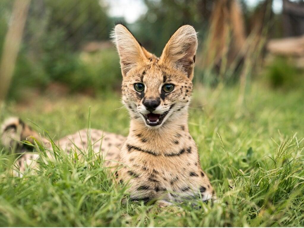 10 Types of Felines