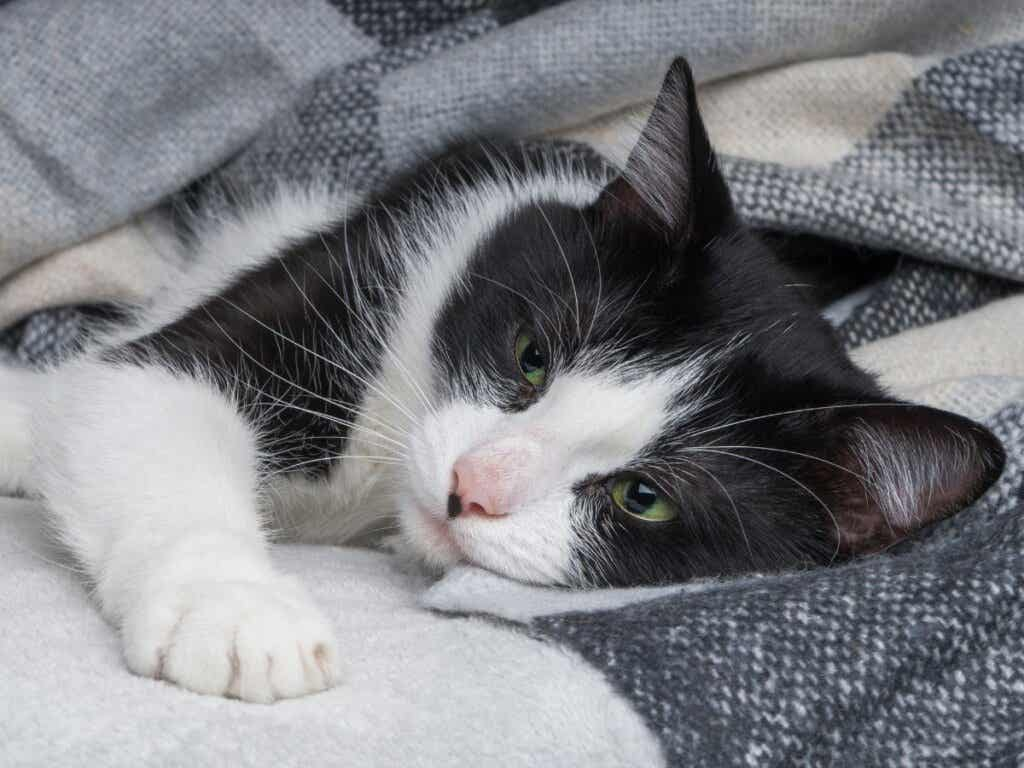 How to Treat Rickets in Cats