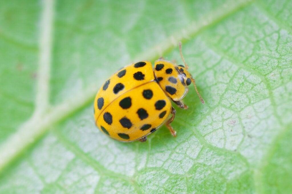 12 Types of Ladybugs