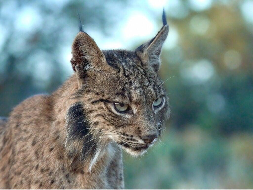 Behavior of the Iberian Lynx