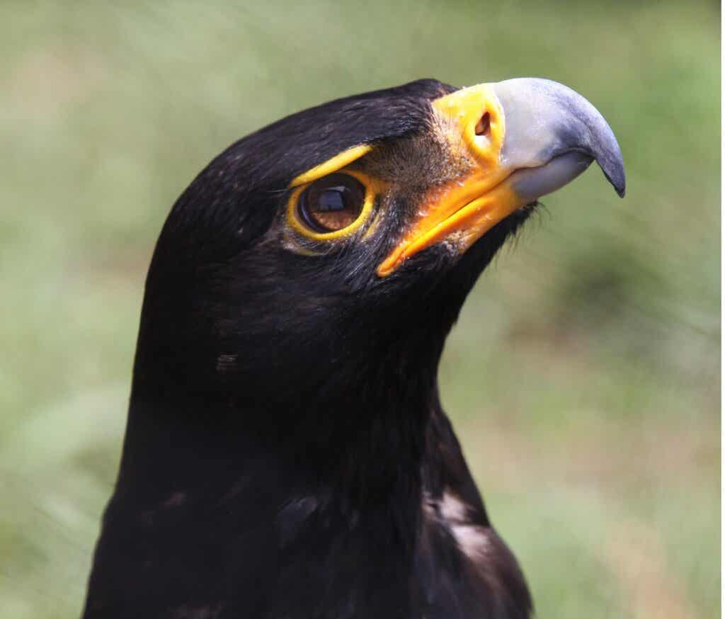 Black Eagle: Habitat and Characteristics