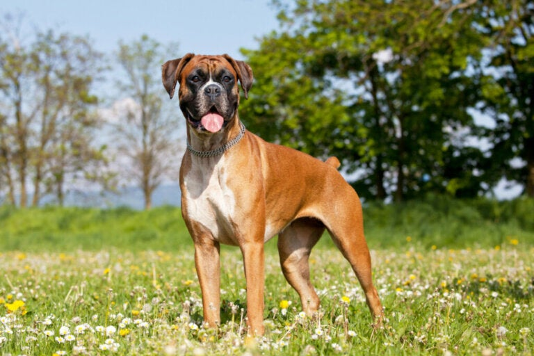 Looking After Your Boxer