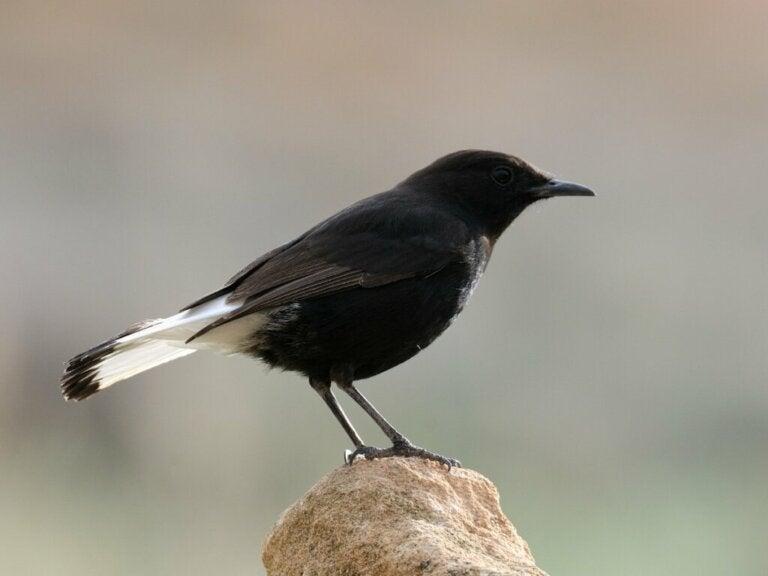 Black Wheatear: Habitat and Characteristics