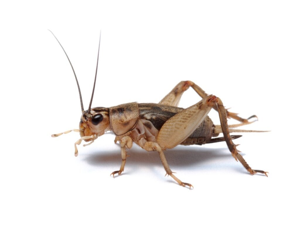 10 Curiosities About Crickets