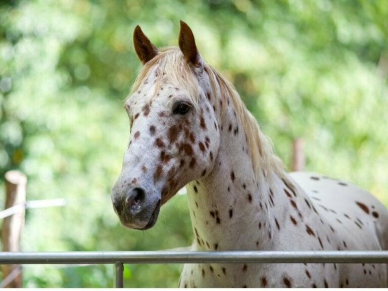 The Appaloosa Horse: Origin and Characteristics