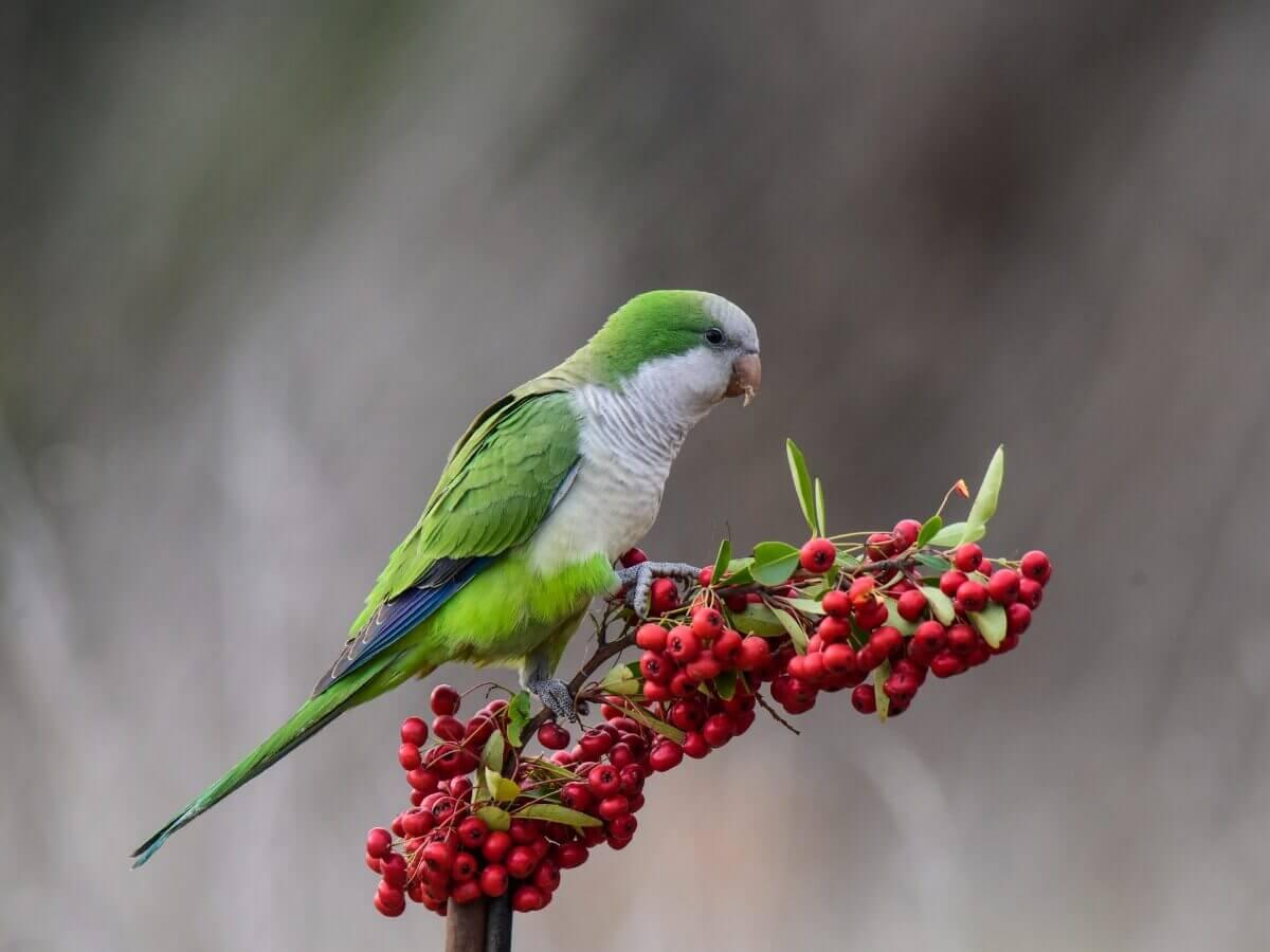 A monk parakeet eating berries.