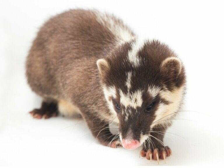 Chinese Ferret-Badger: Habitat and Characteristics