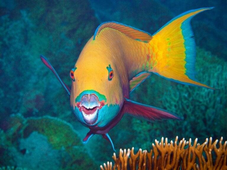 7 Curiosities of the Parrotfish