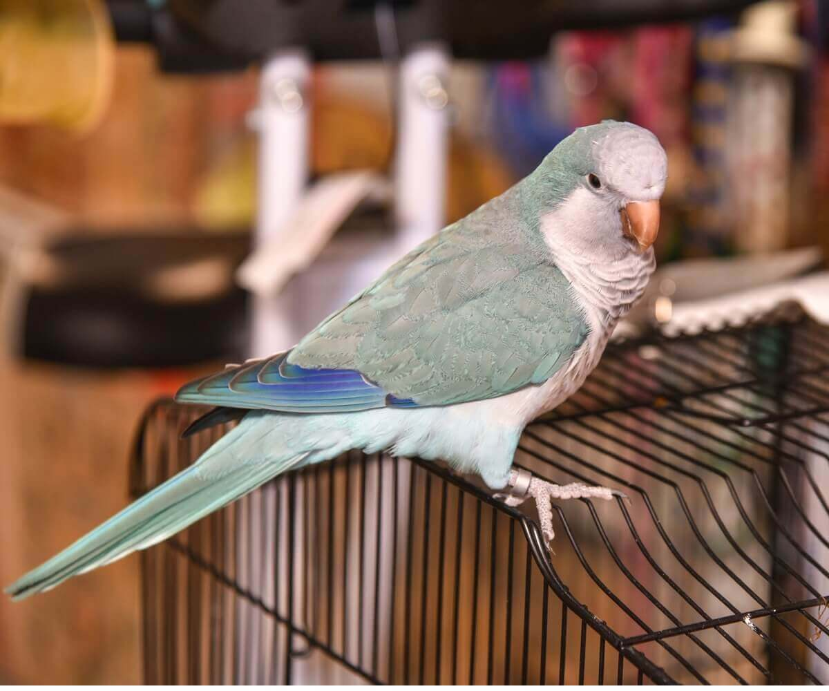 A pet monk parakeet.
