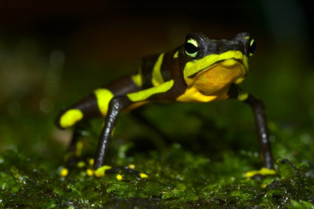 The Harlequin Frog: Habitat, Characteristics and Conservation