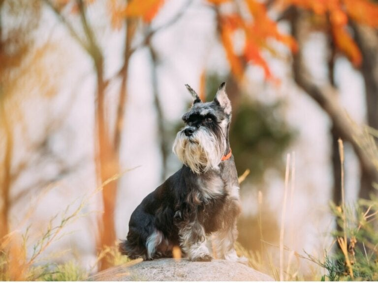 Tips for Looking After Your Miniature Schnauzer