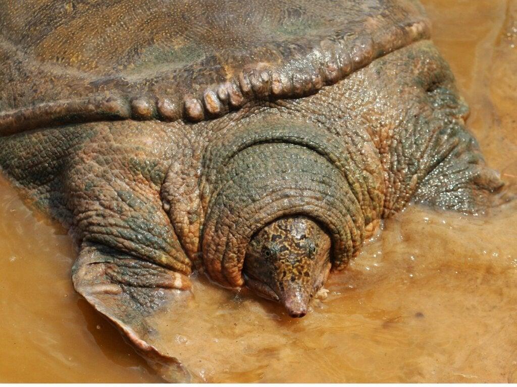 Yangtze Giant Softshell Turtle: Habitat, Characteristics and Conservation