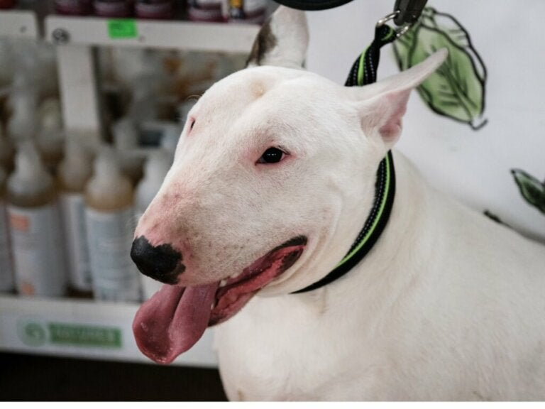 Caring for the English Bull Terrier