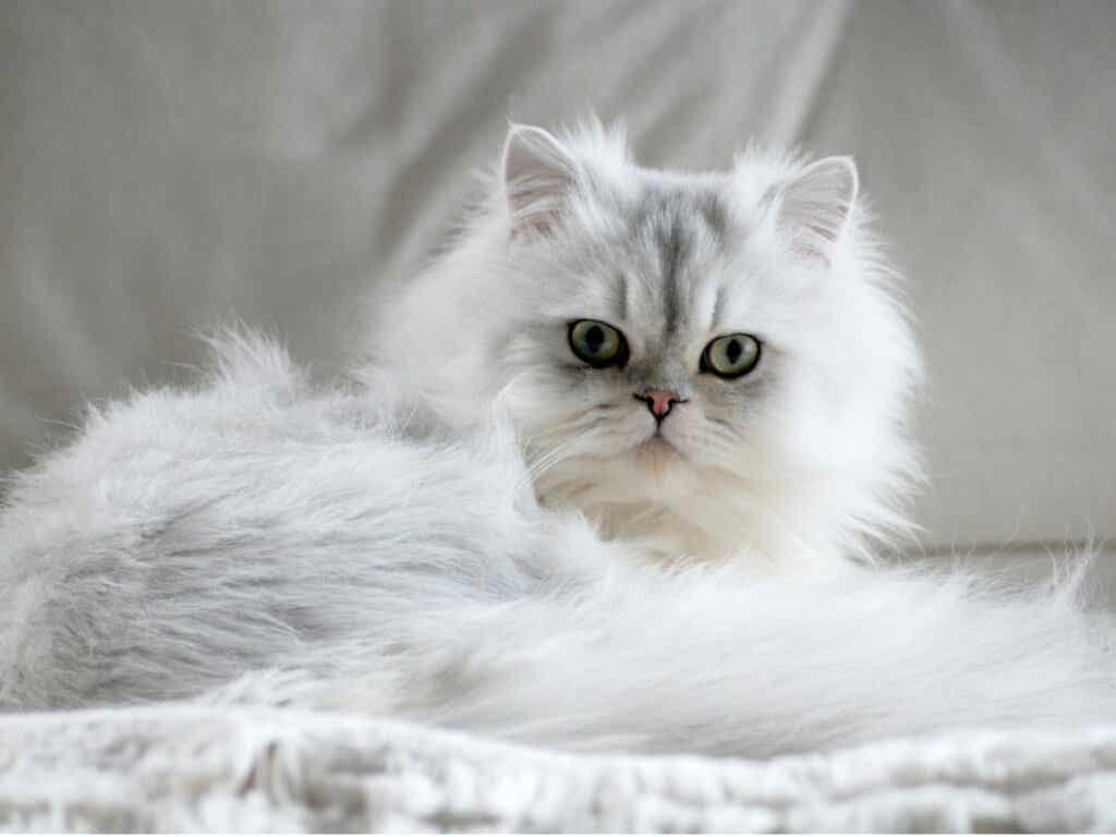 7 Types of Persian Cat