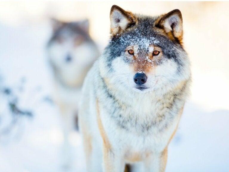 The Amazing World of Wolf Behavior