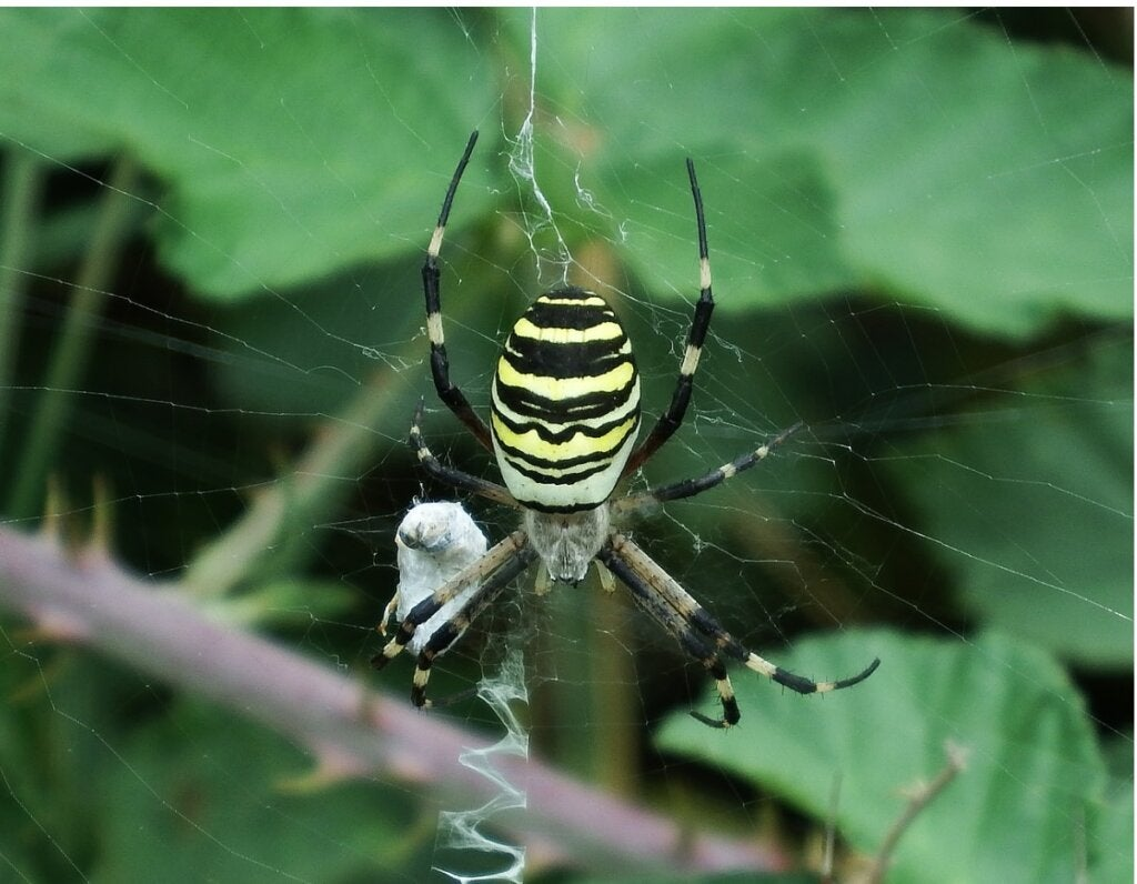 Tiger Spider: Habitat and Characteristics
