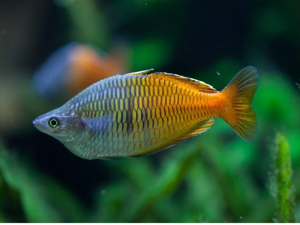 The Boesemani Rainbowfish: Characteristics and Care