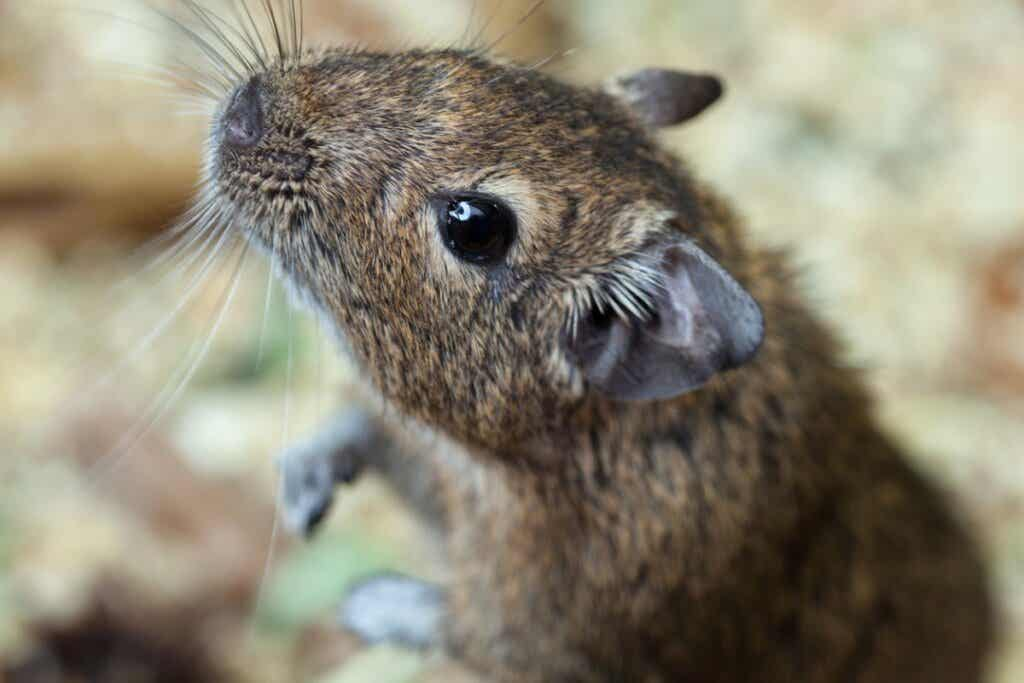 Get to Know the Degu!