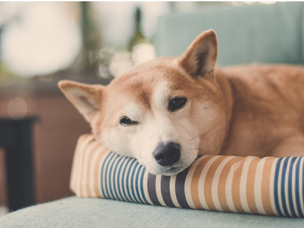 Why Do Dogs Spin Round Before Going to Bed?
