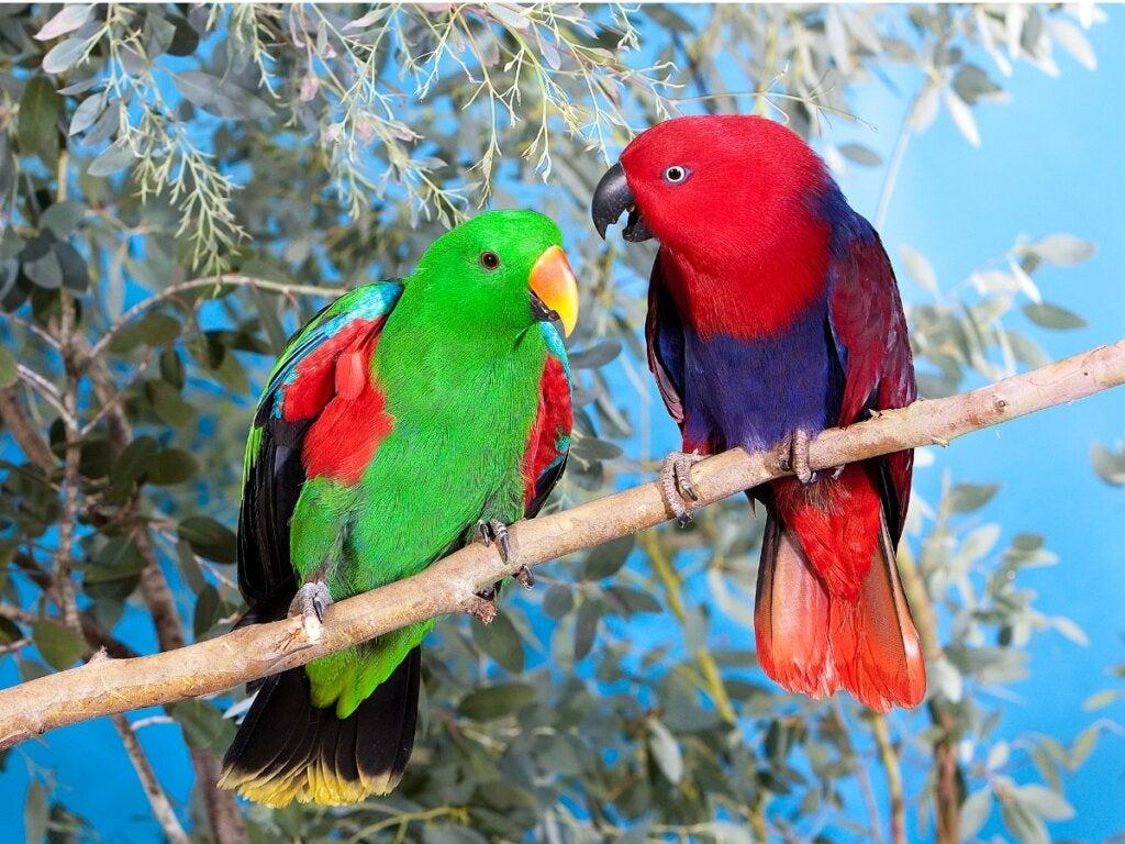 Eclectus Parrot: Habitat and Characteristics