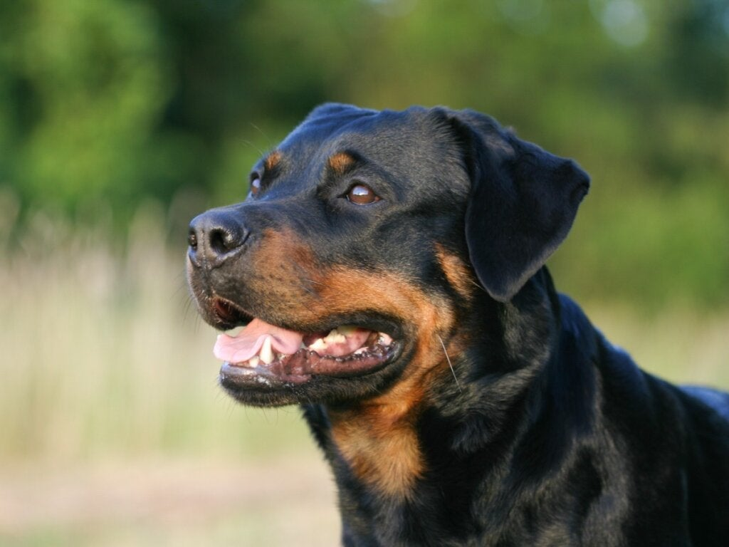 Differences Between an American and German Rottweiler