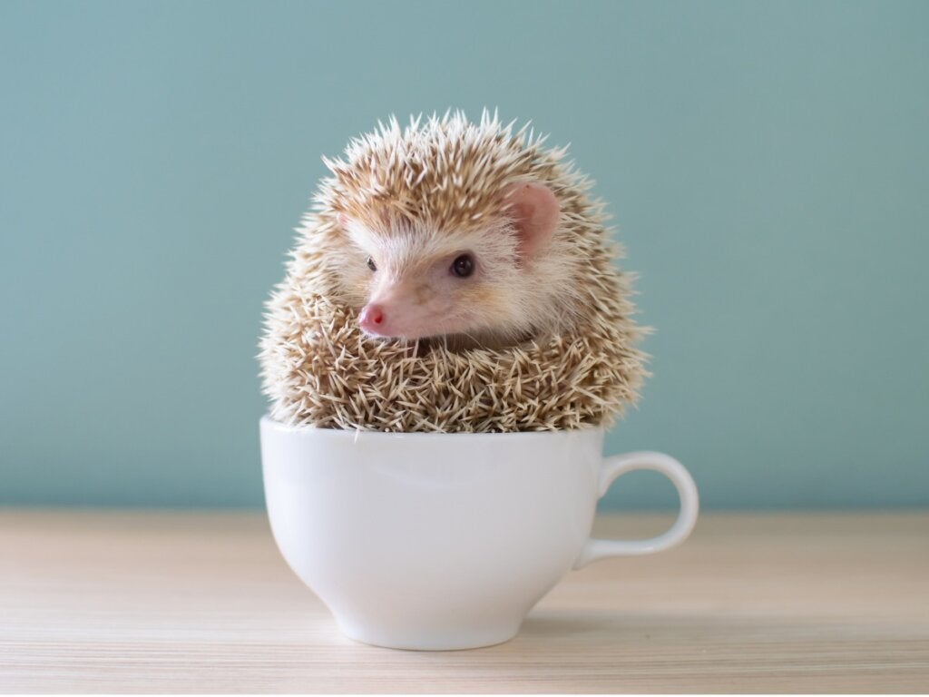 10 Common Diseases in Domestic Hedgehogs