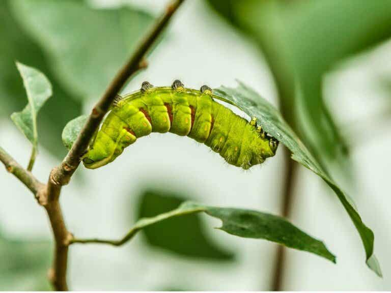 Are Caterpillars Worms?