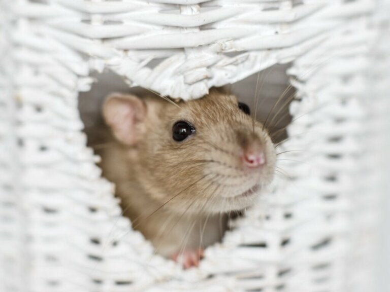 The 6 Smartest Rodents