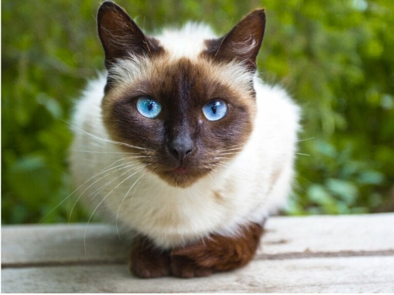 How to Care for Siamese Cats