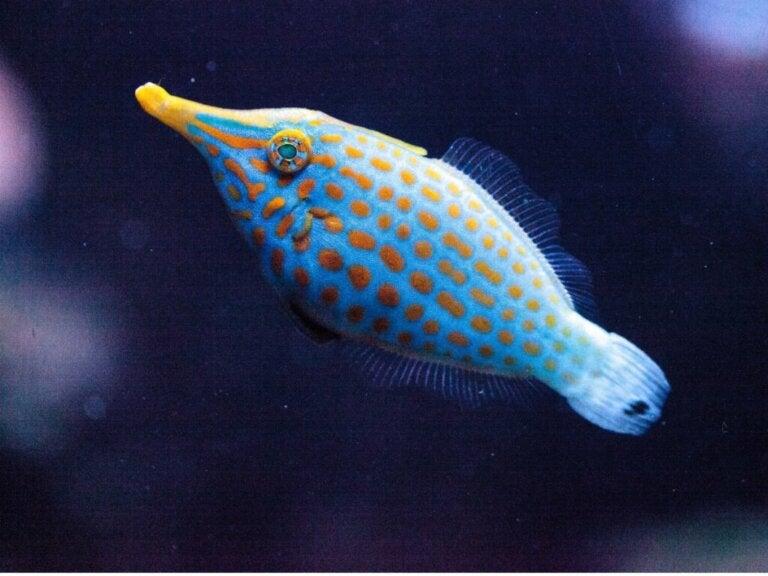 Orange Spotted Filefish: Habitat and Characteristics