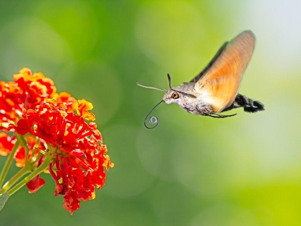 Hummingbird Hawk-Moth: Habitat and Characteristics