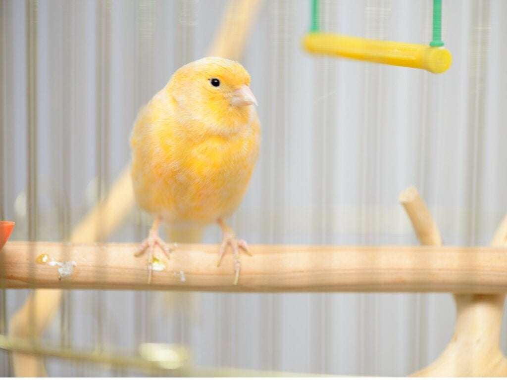 The Reasons Why a Canary Fluffs Up Its Feathers