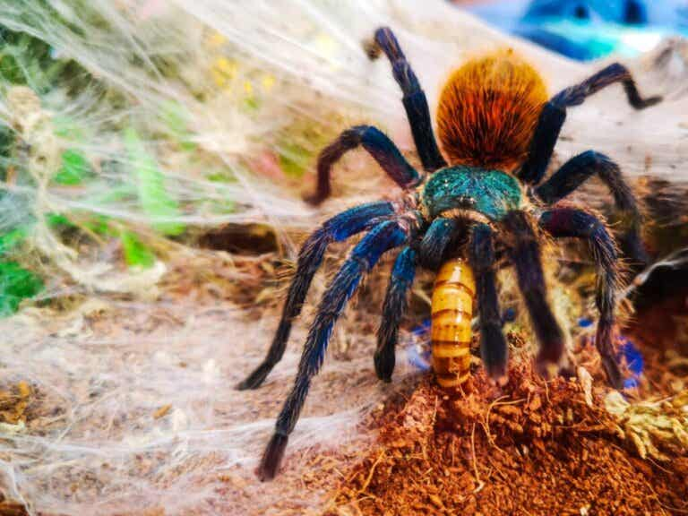 10 Curiosities About Tarantulas
