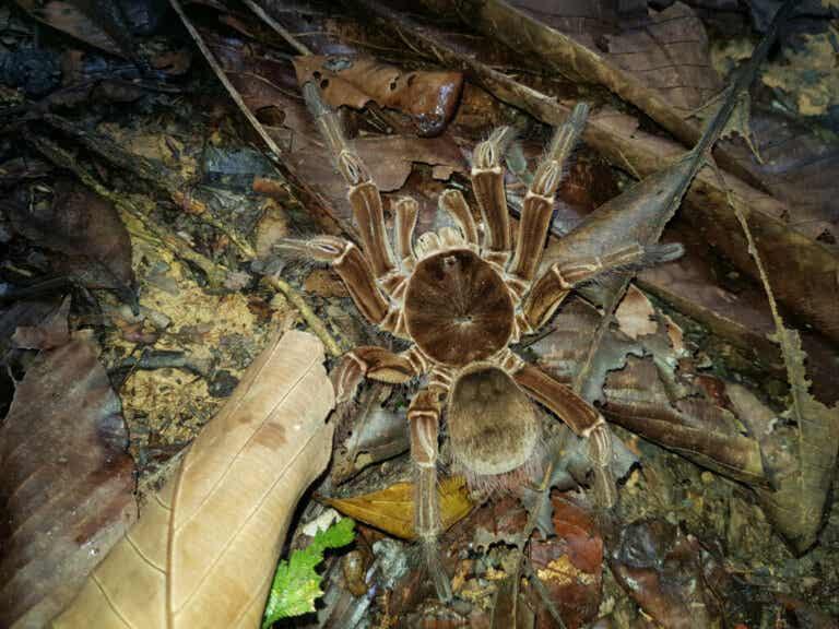 Goliath Birdeater Spider: Habitat and Characteristics