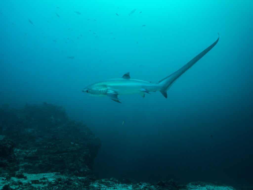 Thresher Shark: Habitat and Characteristics