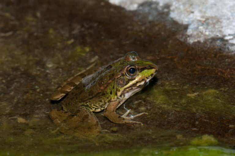 Common Frog: Habitat and Characteristics