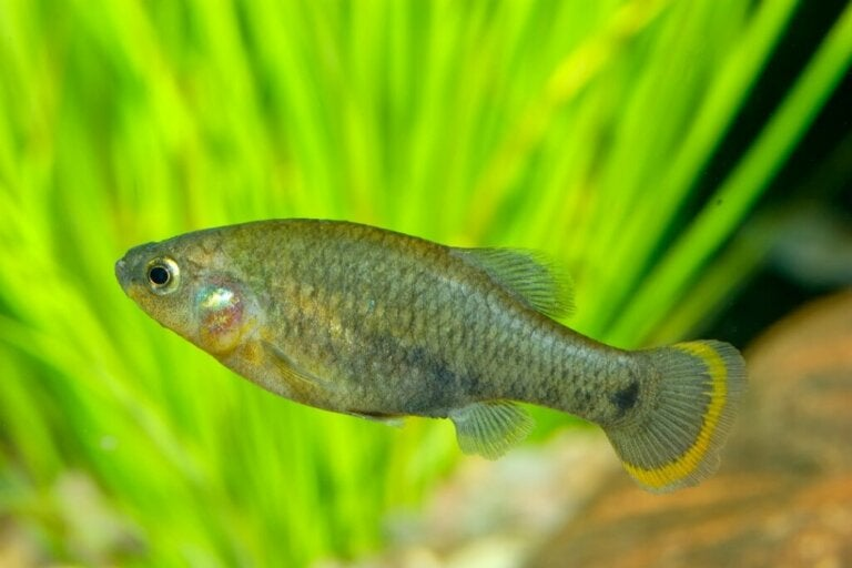 The Banded Allotoca: Habitat, Characteristics and Conservation